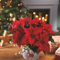 Poinsettias for sale by FFA